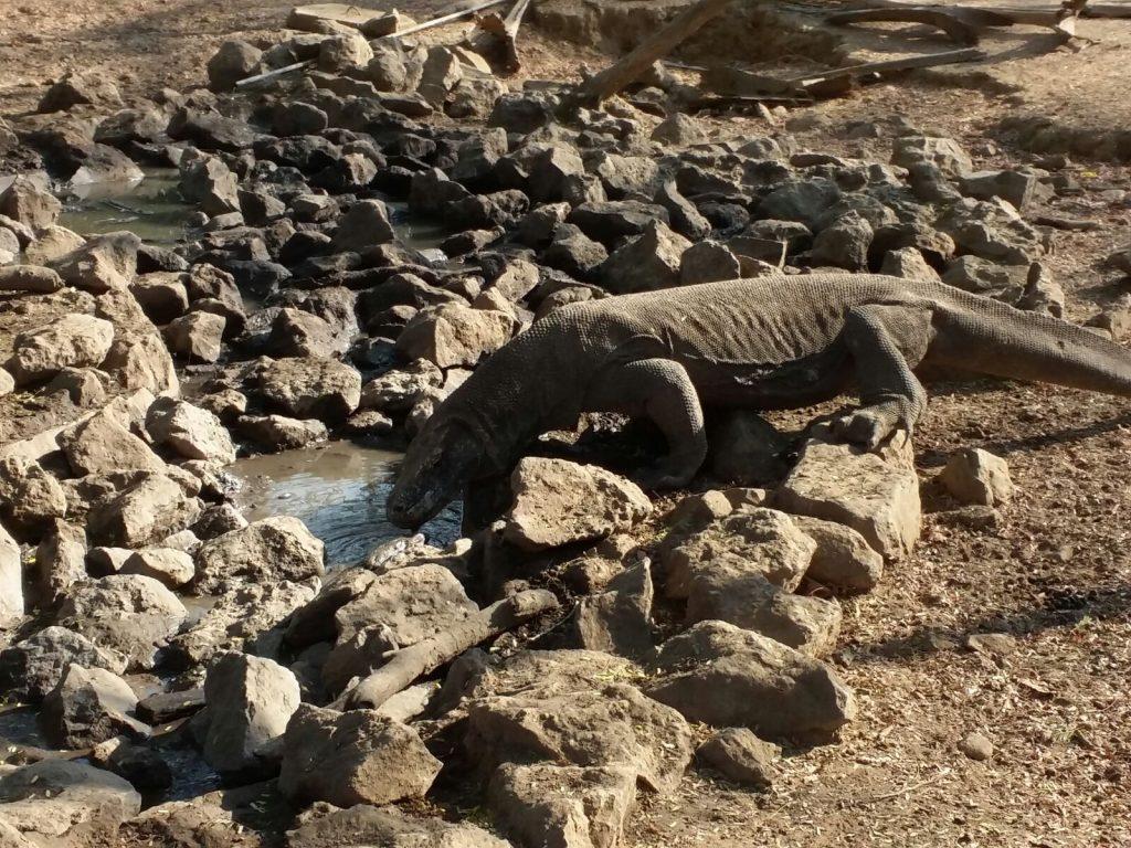 Komodo island - Komodo Dragon